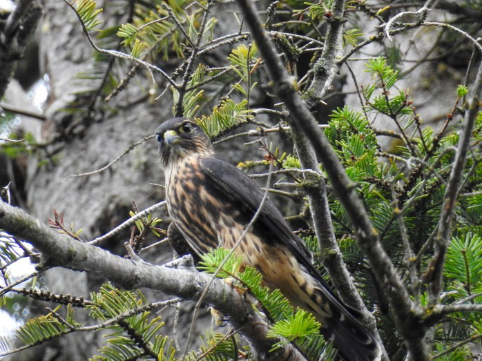 Merlin (Falco columbarius), Comox Valley, British Columbia.