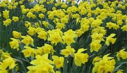 Daffodils in full bloom