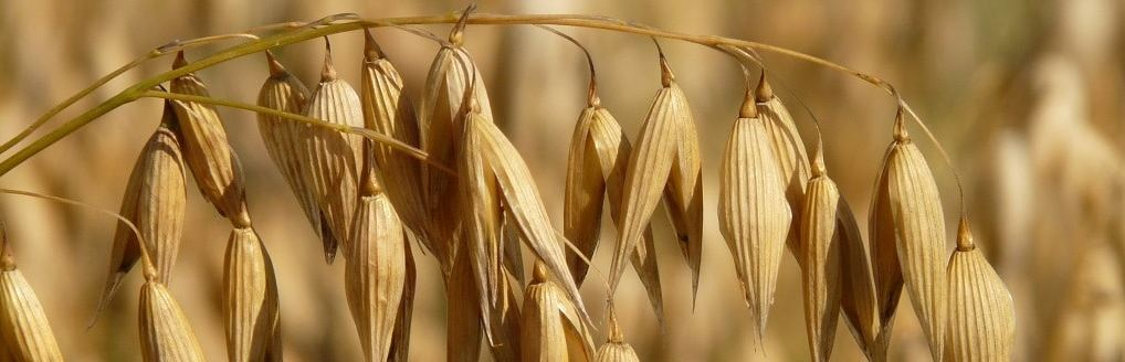The Oat – The Heart of Scottish Food