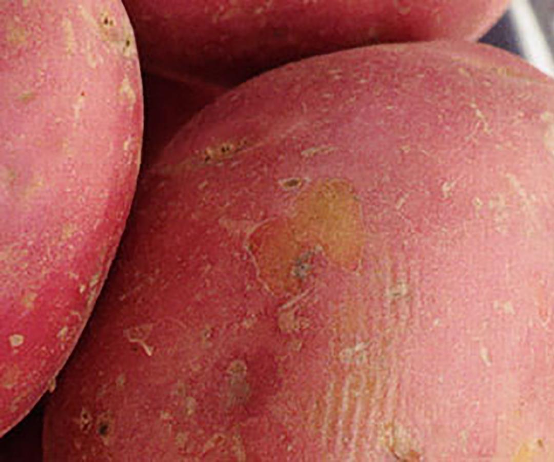 Potato Main crop