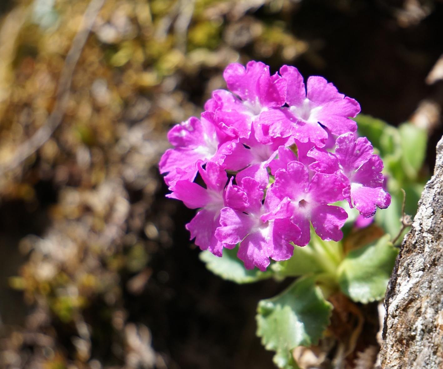 Alpine Gardens - Primula