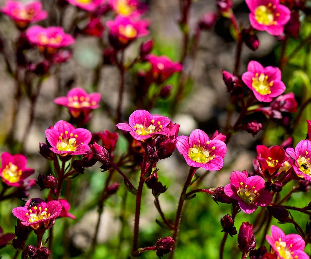Alpine Gardens - Saxifrages