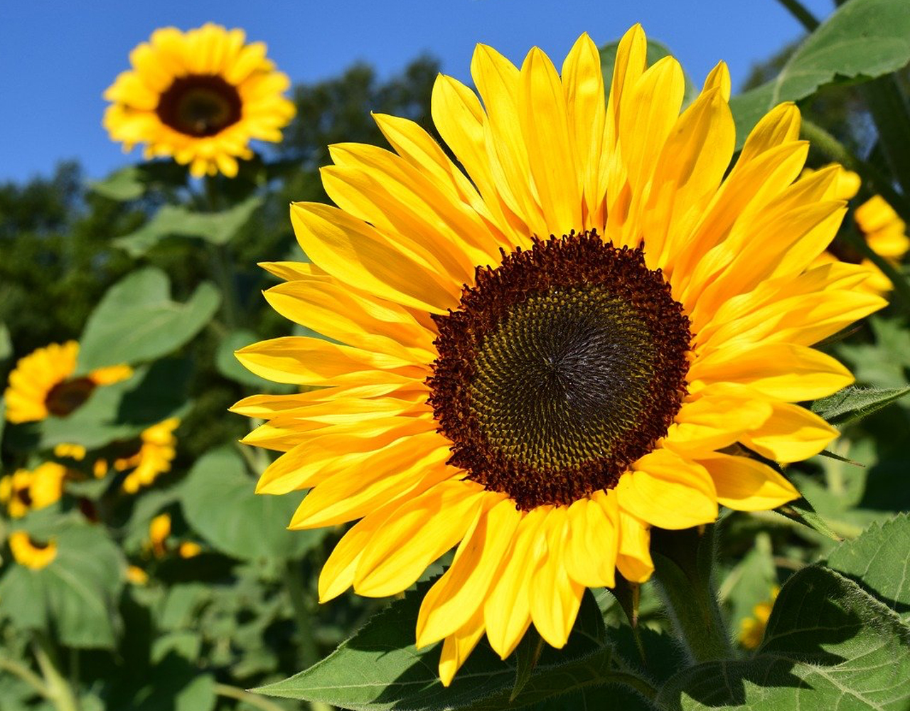 Sunflowers - Your garden in April