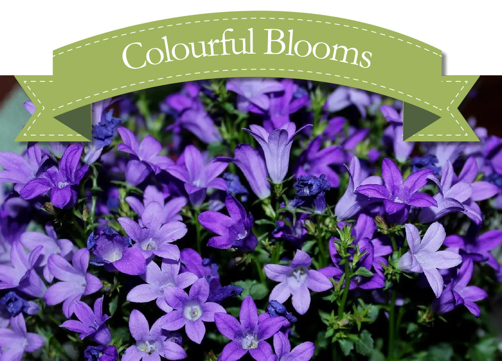 Campanula NOW IN