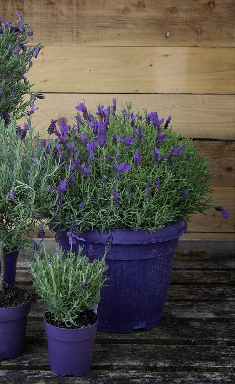 Lavender selection at British Garden Centres