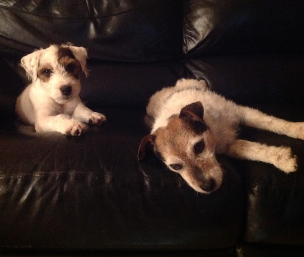 Cali and Ajax Jack Russell Puppy and his mother Cali