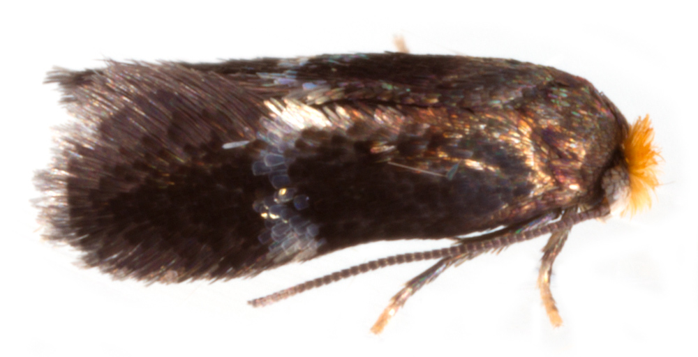 Bohemannia auriciliella §1 male, © Chris Lewis