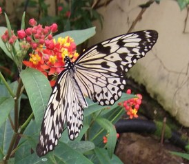 pili palas butterfly house__04052014 (19)
