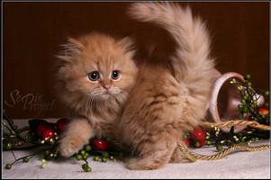 Image result for long-haired kittens