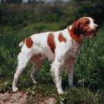 adopt_chipper_brit_1