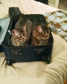 cats-suitcase