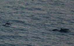 Striped and tiny calf breaching