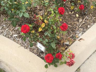 rose garden in Longmont