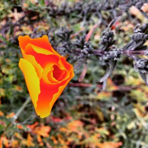California Poppy Opening