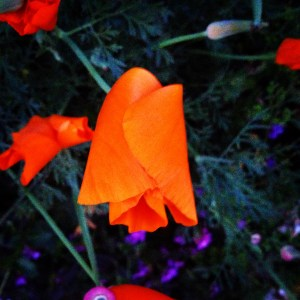 California Poppy at Night