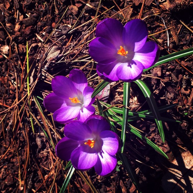 purple-spring-flowers
