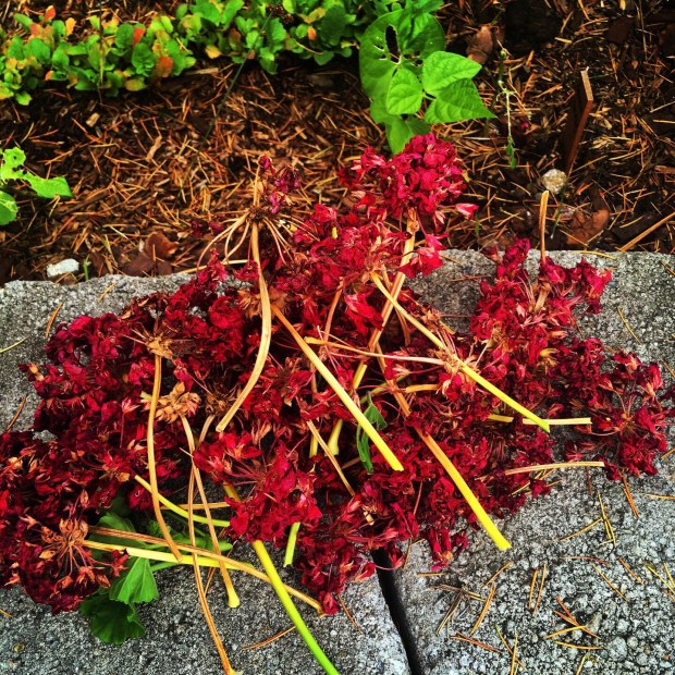 dead geraniums