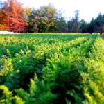 carrot tops in this field of organic carrots