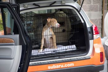 After being loaded into a transport vehicle, the young dog looks on quietly as more animals are brought out. Photo Credit: Matt Liptak