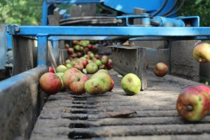 Isaac Cider Apples