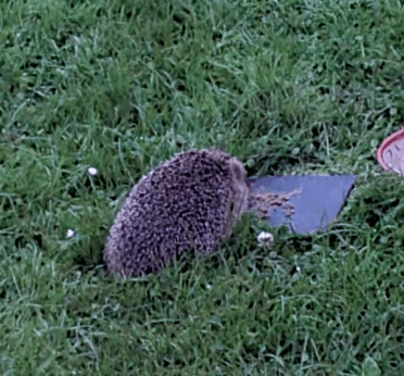 Have You Seen Any Hedgehogs?