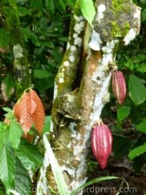 albero del cacao Theobroma cacao con i suoi frutti rossi