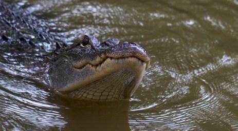 Again: Alligator