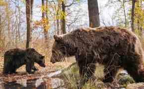 Two bears at Libearty Bear Sanctuary in Zarnesti, Romania