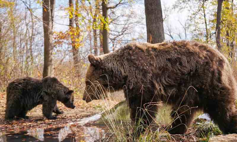 Two bears at Libearty Bear Sanctuary Romania
