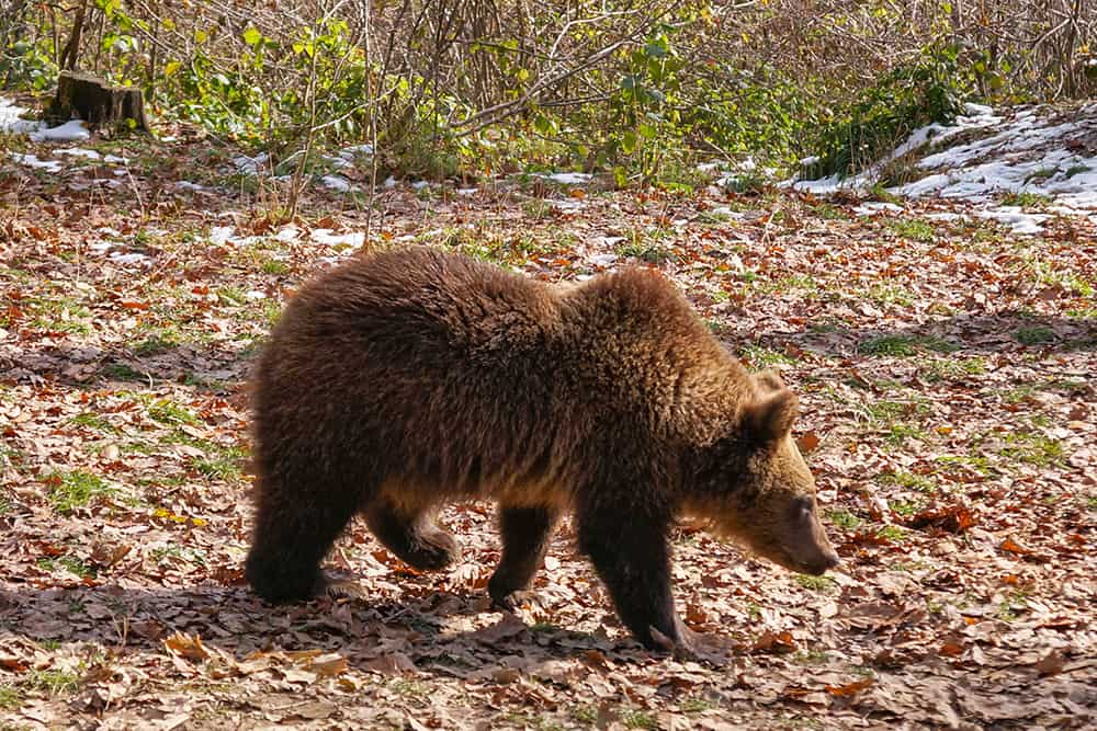 Bear Cub at Libearty Bear Sanctuary Romania