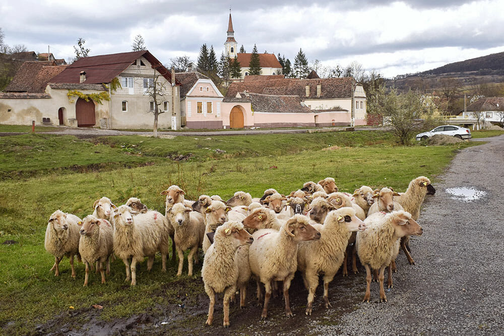 Crit village with sheep in Romania