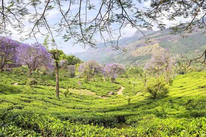 Vagavurai Tea Plantation with jacaranda trees in bloom in Munnar, Kerala - #munnar #kerala #india