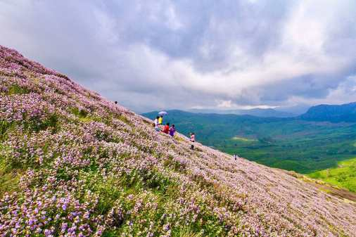 Neelakuirinji in bloom in Munnar only happens every 12 years - #munnar #kerala #india