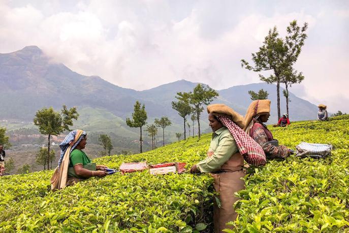 Tea pickers harvesting tea at Lockhart Tea Plantation in Munnar - #munnar #kerala #india