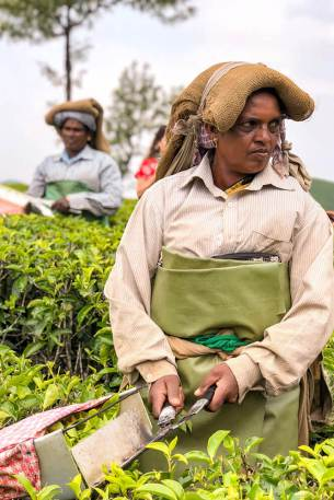 Tea picking lady at Lockhart Tea Plantation in Munnar #munnar #kerala #india
