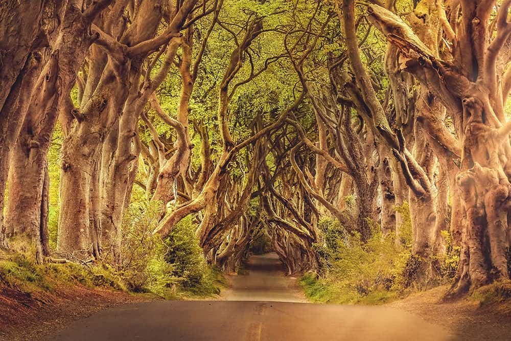 Road flanked by trees growing inwards creating a tunnel