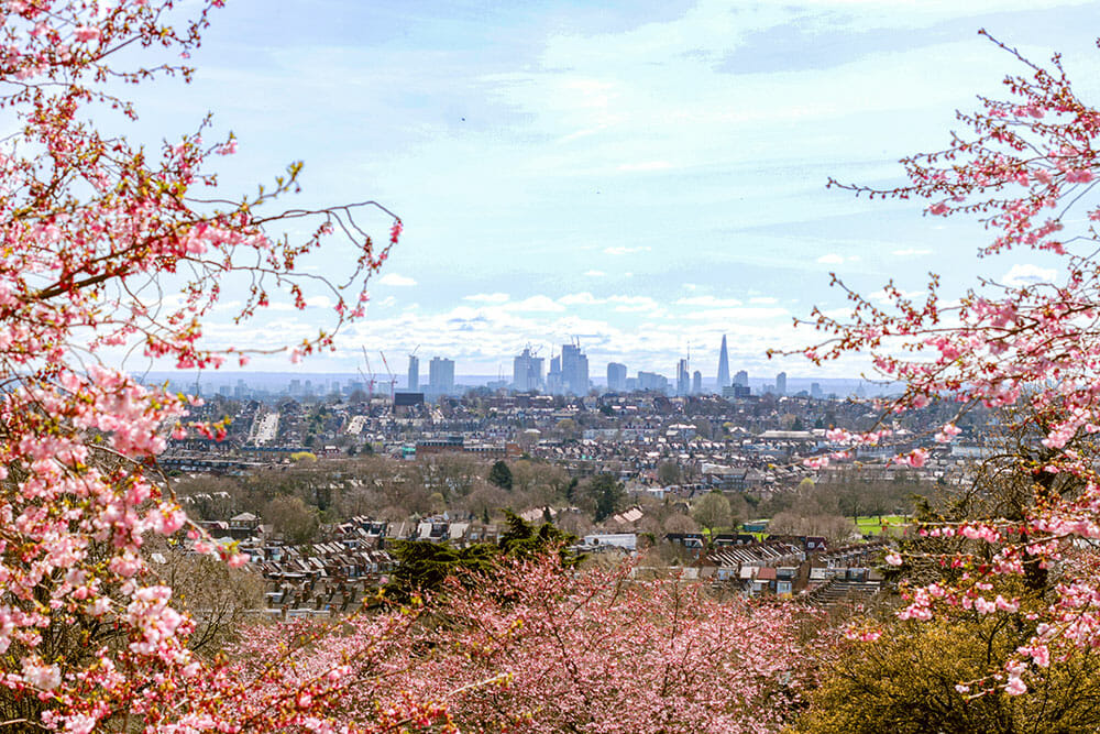 View of the skyscrapers in the horizon framed by pink cherry blossoms