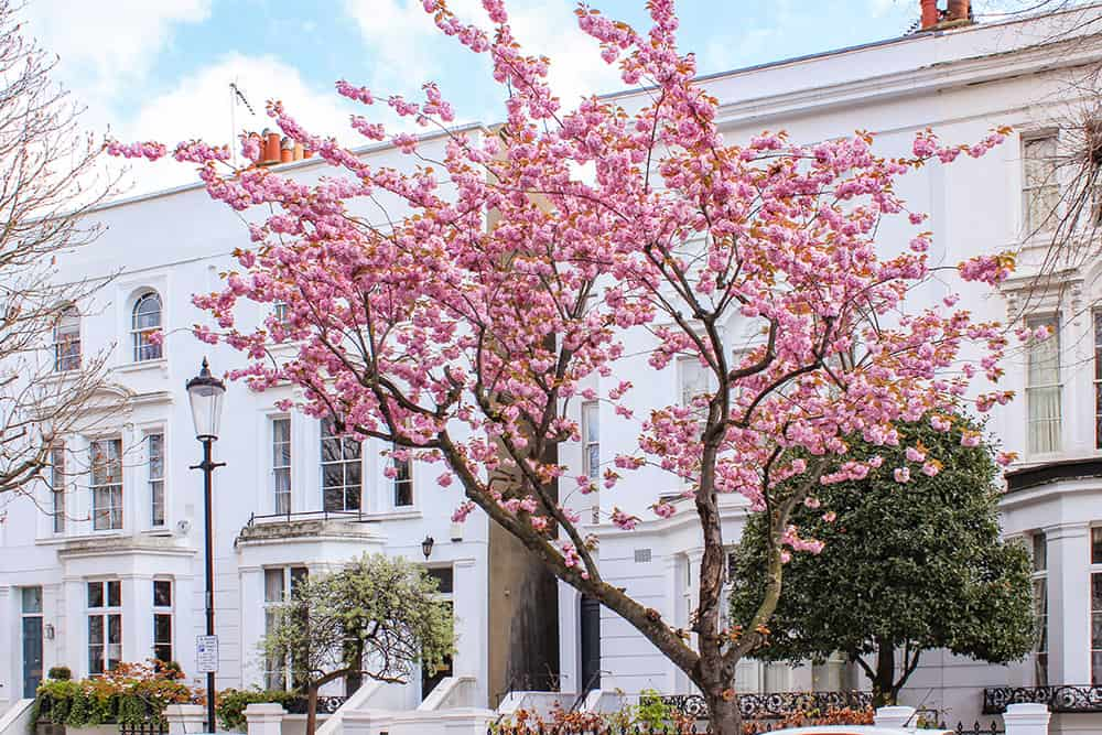 Large pink cherry blossom tree outside two white two storey townhouses. There is a victorian street lamp to the left of the tree.