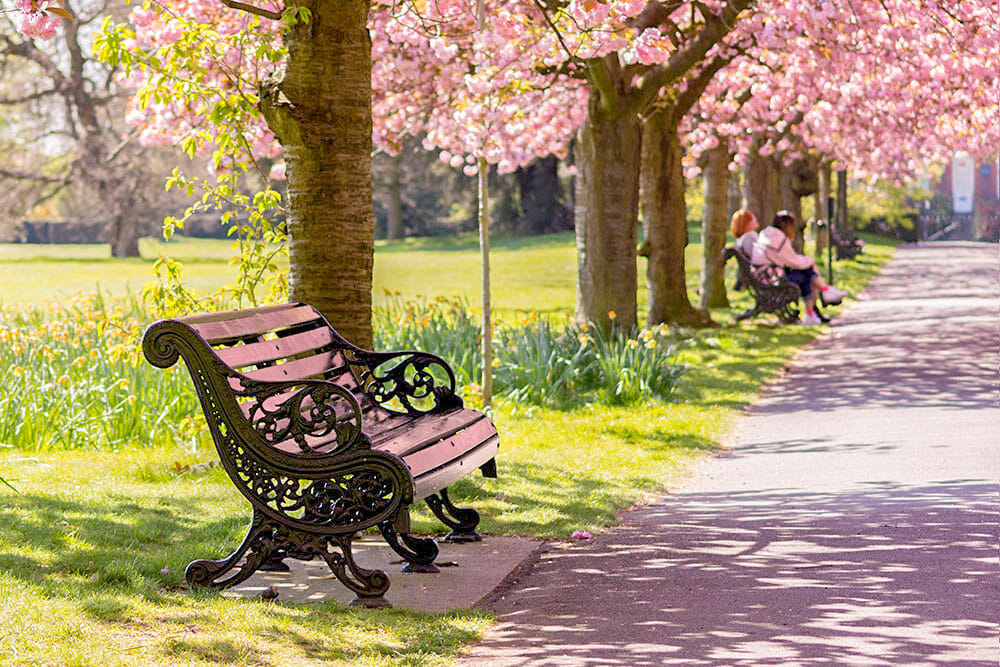 Avenue lined up with cherry blossom trees with benches along the path