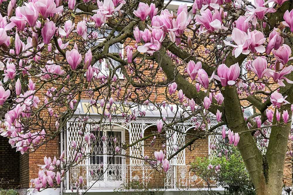 Magnolia tree framing a white lattice balcony on a brick house