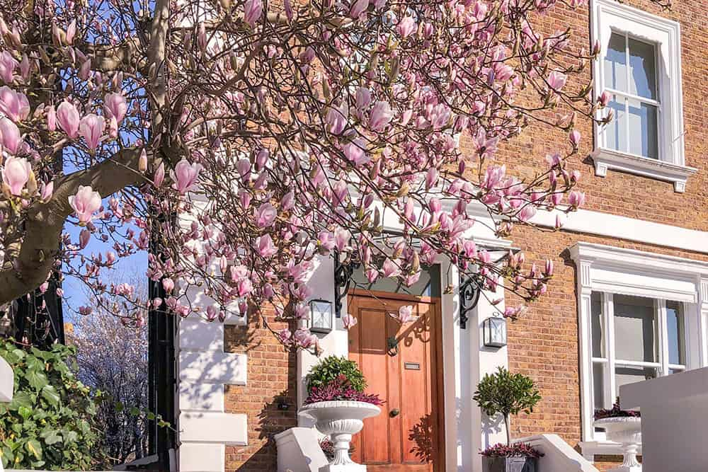 Magnolia in bloom outside a brown brick house with wooden door and planters with flowers