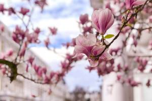 London in Bloom brings out magnolias and cherry blossom in London