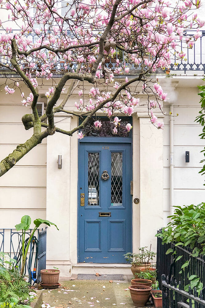 Magnolia tree outside cream coloured house with blue door and terracotta pots