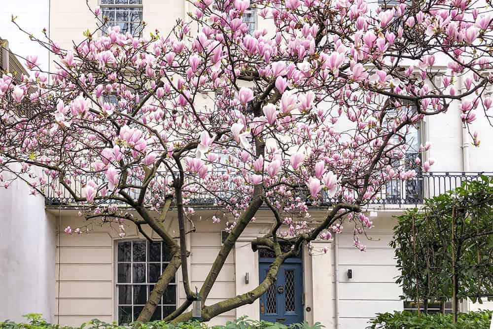 Magnolia tree in flower outside cream house with blue door