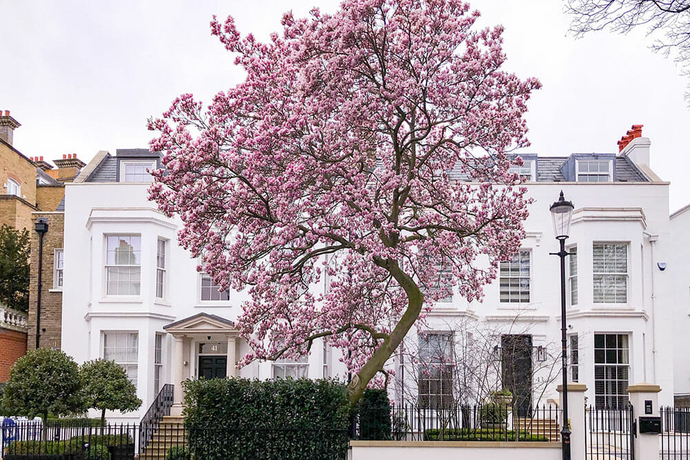 Large pink magnolia tree in bloom in front of a two storey white residential building, with a green hedge next to it