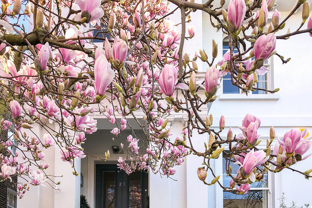 Pink magnolias in front of a white house with a black door