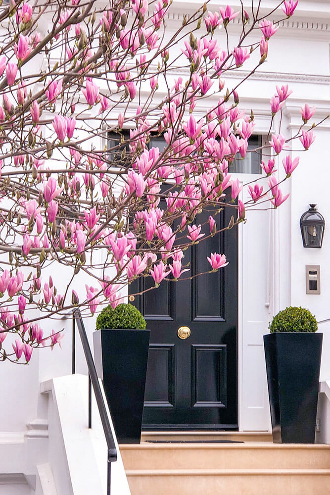 Vibrant pink magnolias flowers in front of a black door with two big black planters either side