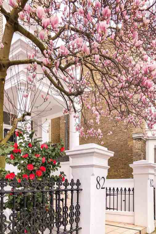 Magnolias and camellias in bloom in the front garden of a house