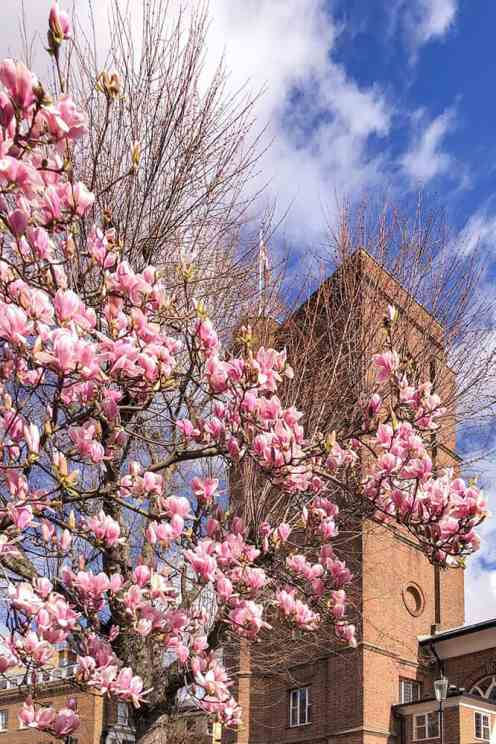 Pink magnolias with red brick church tower in the background