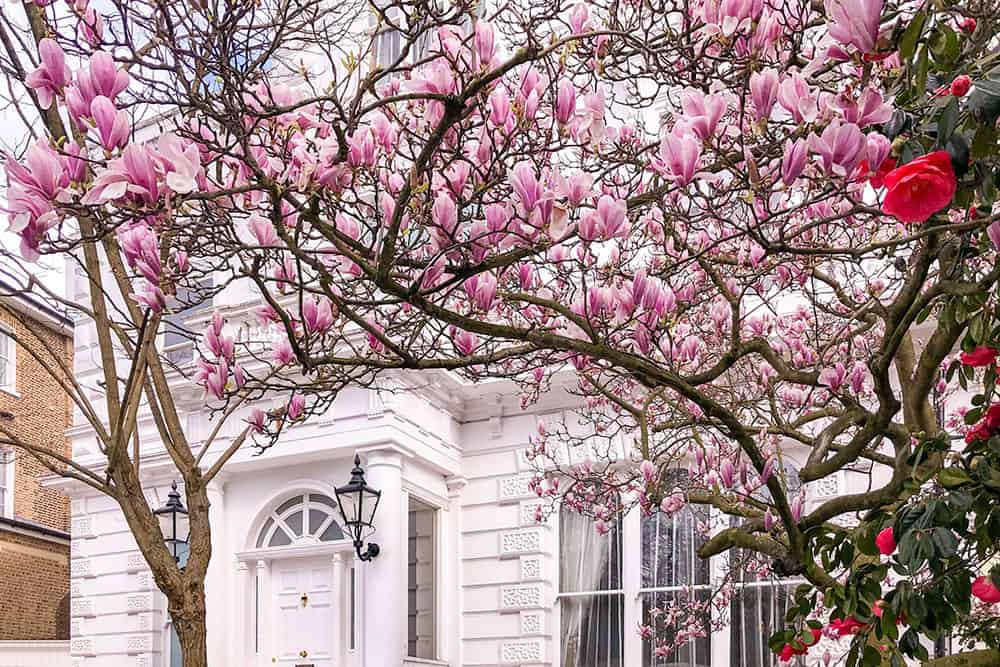 Branches of blooming magnolia and camellia in front of a white house